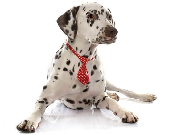 Dalmatian dog dressed in red tie