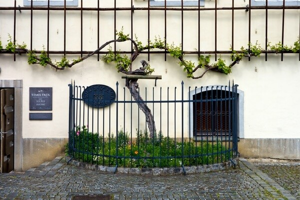 The oldest grape wine in Maribor