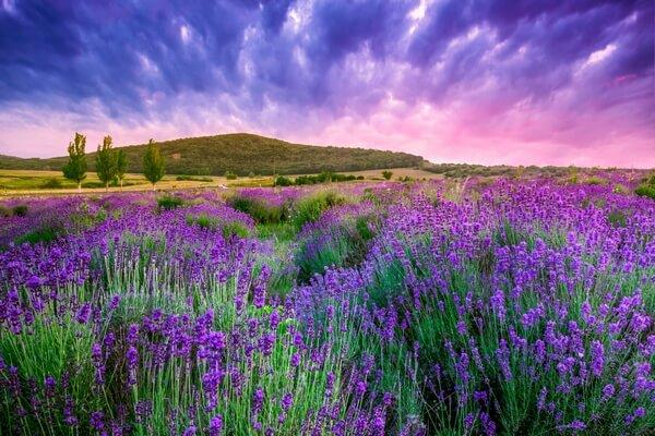 beautiful lavender fields in Tihany, Hungary